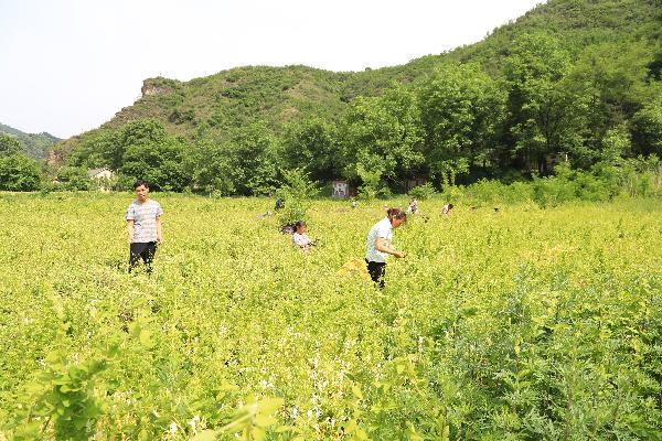 洛南县政协委员吕志荣带领乡亲种金银花脱贫